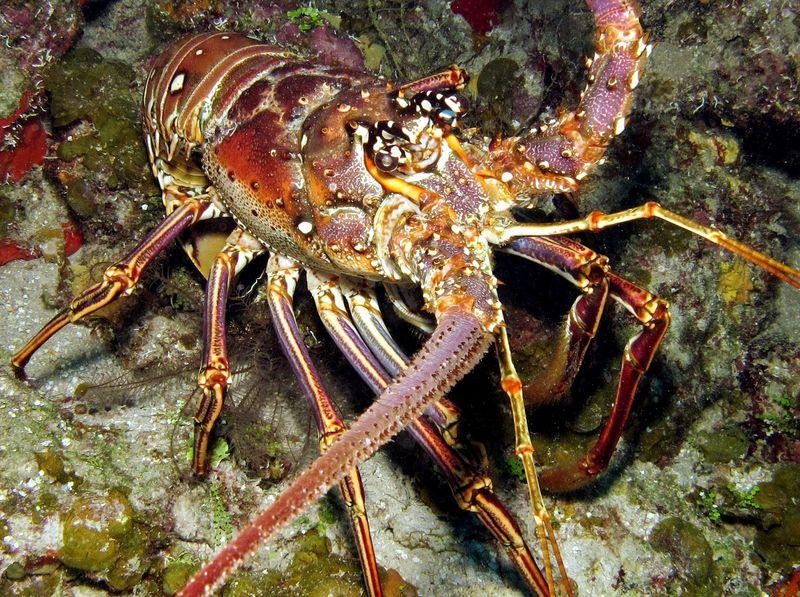 Caribbean lobster (panulirus argus)
