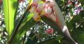 Atoumo (Alpinia verunpet)