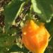 Pawoka  momordica charantia  manje-kouli