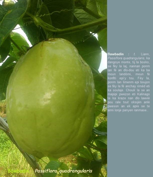Bawbadin  Passiflora quadrangularis  liann bosko