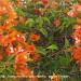 Bougenvilie  bougainvillea spectabilis  paper flower