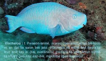 Wachalou -scarus coeruleus-