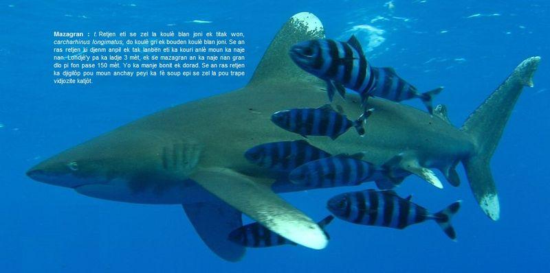 Mazagran - carcharhinus longimatus