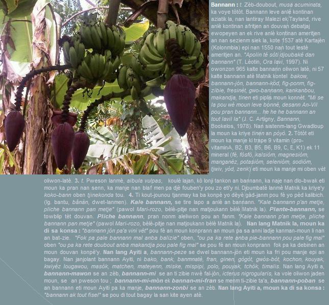 Bannann, zèb-doubout, musa acuminata, ka voye tòtòt.