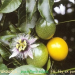 Marakoudja  passiflora edulis  flè  fèy ek ponm