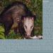 Mannikou  didelphis marsupialis