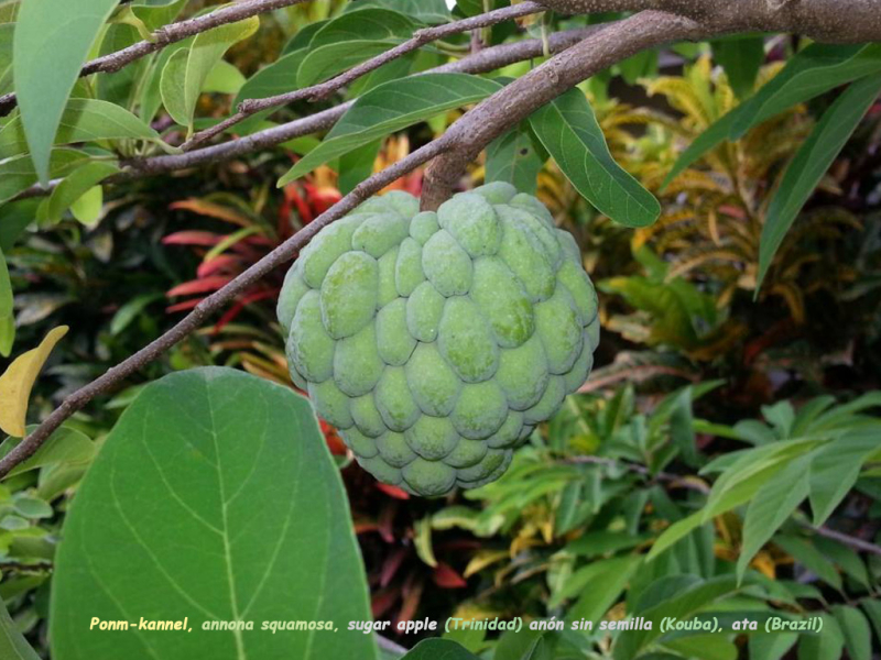 Ponm-kannel  annona squamosa  sugar apple (Barbad  Jamayik  Trinidad) anó  sin semilla (Kouba) Ata (Brazil)  Cachiman Canelle (Dominikana)