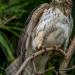 Malfini bueto platypterus broad-winged hawk - guaraguao oben gavilán bobo (Kouba)