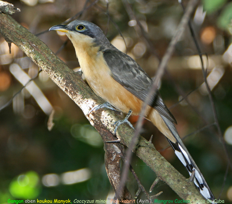 Gangan oben Koukou-manyok -Coccyzus minor- Mangrov cuckoo gangan  piay-kabrit (Ayiti) tacco de Cuba