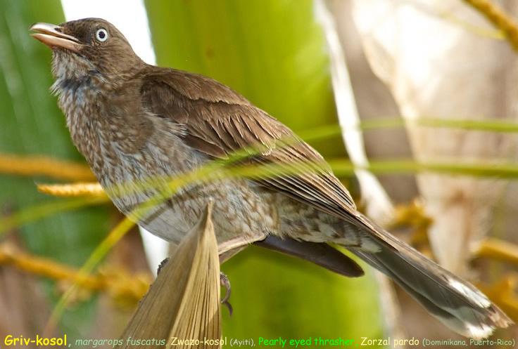 Griv-kosol  Margarops fuscatus  pearly-eyed thrasher  zwazo-kowosol (Ayiti) Zorzal pardo (Dominicana  Puerto Rico) Cuitlacoche chucho