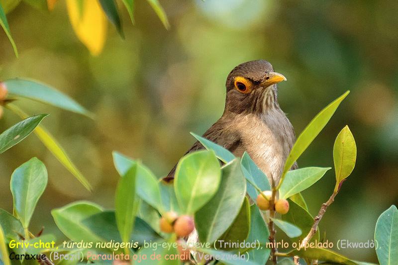Griv-chat -turdus nudigenis- bare-cheeked thrush  big-eye grieve (Trinidad)  bar-eyed thrush  Paraulata Ojo de Candil (Venezwela)  Mirlo ojipelado (Ekwadò)   caraxue (Brazil)