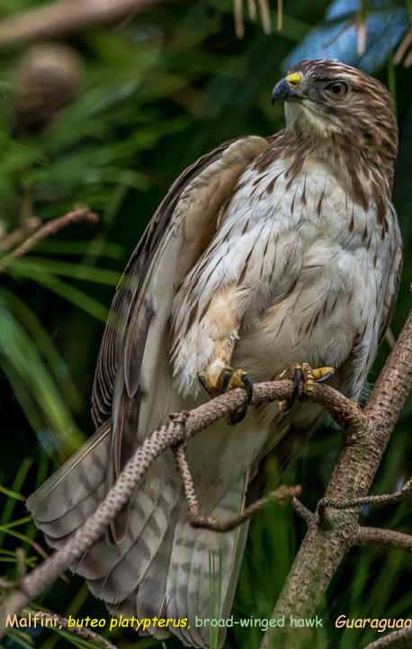 Malfini bueto platypterus broad-winged hawk - guaraguao oben gavilán bobo (atè Kouba)