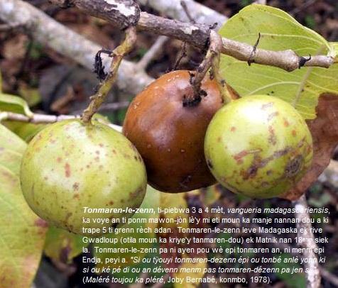 Tonmaren-le-Zenn (Vangueria madagascariensis), tomaren-dou