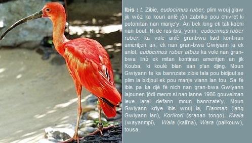 Ibis, zibie, eudocimus ruber, plim wouj glaw jik wòz