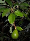 170px-Persea_americana_fruit