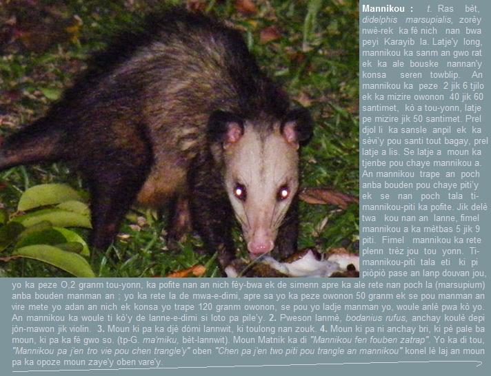 Mannikou, didelphis marsupialis, ka pòte piti'y nan an pòch ki anba bouden'y.
