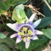 Flè ponm-liann  Passiflora  laurifolia