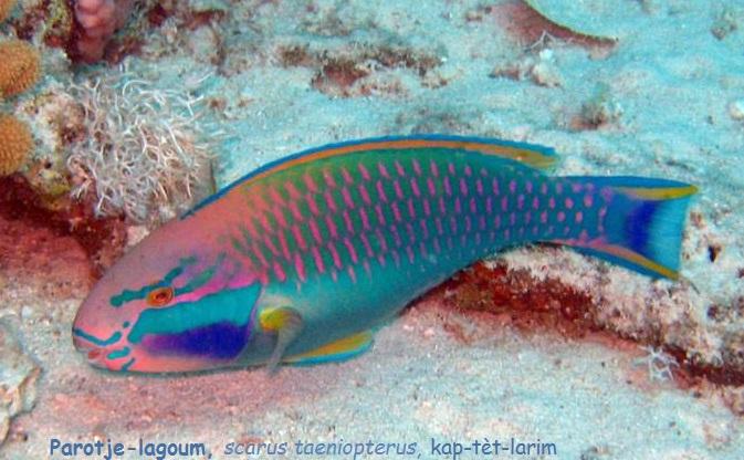 Parotje-lagoum   scarus taeniopterus  kap-tèt-larim