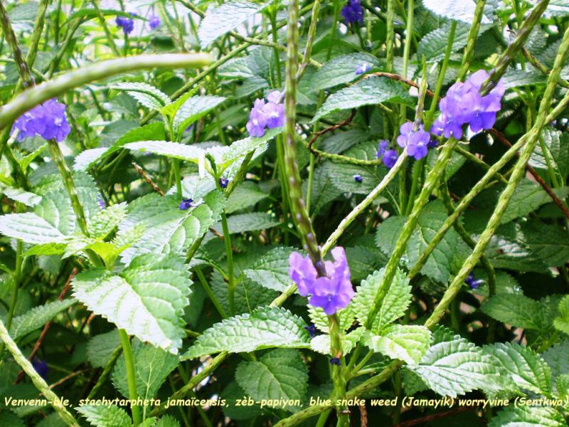 Venvenn-ble  stachytarpheta jamaicensis  zèb-papîyon  blue snake weed (Jamayik) worryvine (Sentkwa)  verbena cimarona (Kouba) ek golondrina (Kolonmbia