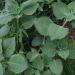 Gwo-diten  plectranthus amboinicus  orégano brugo  big thyme (Gr. St. V  T&T)