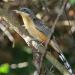 Koukou-manyok -Coccyzus minor- Mangrov cuckoo gangan  piay-kabrit (Ayiti)