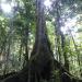 Akoma-boukan  sloanea caribaea  chatennyé ti fèy (Gwadloup)  Chatannyé (Sentlisi)  small leaf santinay (senvensan)