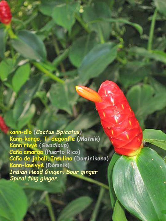 Kann-kongo  costus spicatus  kann-dlo  ti-degonfle  kann rivyè (Gwadloup) Caña amarga (Pòtoriko)  kann-lawivyè (Dòmnik)...