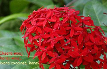 Iksora-wouj oben koray-wouj  Ixora coccinea  koray (Ayiti)