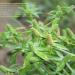 Chadron-beni Eryngium foetidum
