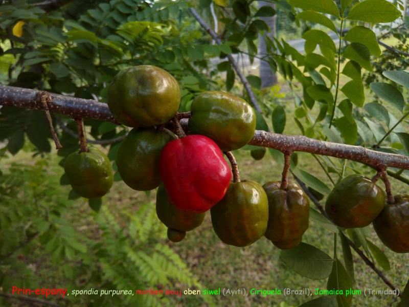 Prin-Espany  spondias purpurea  monben-wouj  siwel (Ayiti)  ciriguela (Brazil)  red mombin  jamaica plum (Trinidad an Tobago) scarlet plum (Bahamas)  ciruela (Cuba)