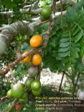 Prin-chili  spondias purpurea  lutea  prin-chini (Gwadloup  Matnik) siwel (Ayiti)  chili plum (Trinidad and Tobago)  Ciruela amarilla (Dominikana  kouba)  Jobillo (Puerto Rico)...
