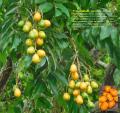 Prin-monben  Spondias mombin  prin mirobolan (Ayiti)  yellow-mombin (Jamayik  Trinidad ek Tobago)  hoeboe (Arawak)  mangotin (Panama) moppe (Sranan) mope (Kali na  Wayana)  Jamaica plum   nkunia guenguere kumansieto (Palo Mayombe Cuba