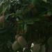 Mango-madanm  mangifera inca  Marigalant