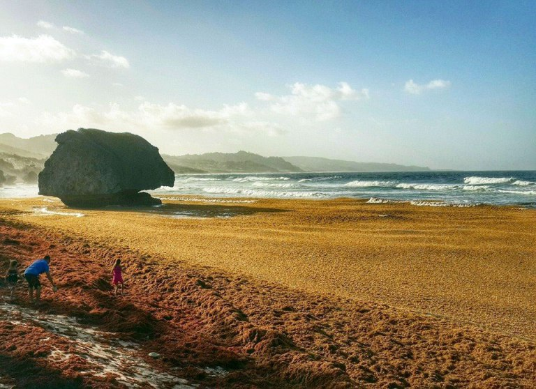 Sargassum-seaweed-covering-east-coast-beach-barbados