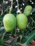 Mango-zefirin  mangifera indica