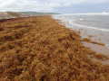 Sargassum East-Coast-Barbados-Sept-2014-credit-H.-Oxenford