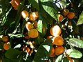 Mandarin-makak