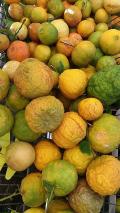 Mandarin asou tre
