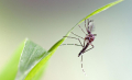 Aedes-Aegypti_B