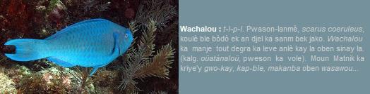 Wachalou  pweson-lanmè  scarus coerulus  koulè ble bòdò ek djel bek jako.