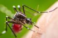 Mayengwen an Aedes Aegypti