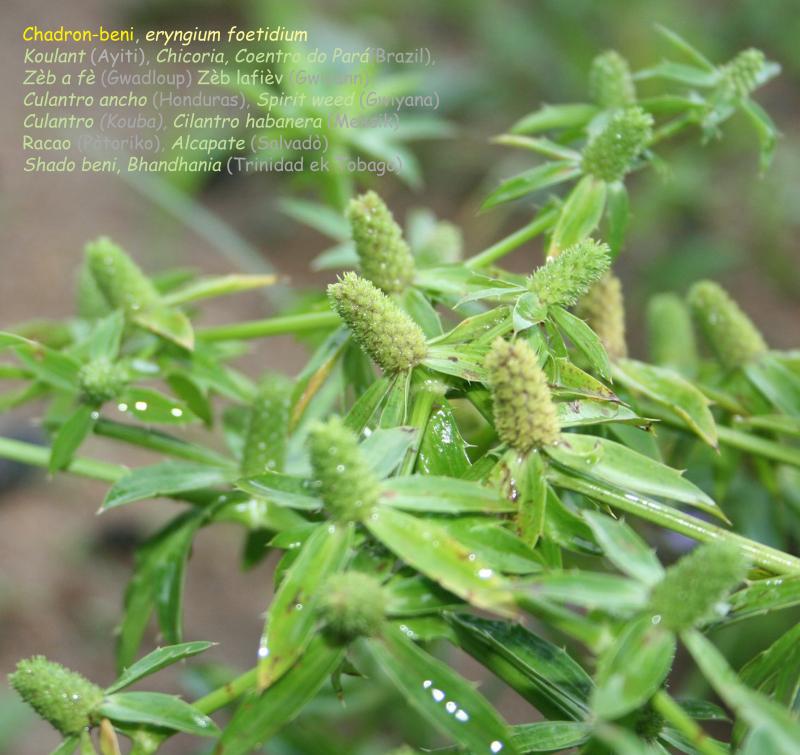 Chadron-beni Eryngium foetidum  Zèb a fè (Gwadloup)  Koulant (Ayiti)  Zèb lafièv  (Gwiyann) zèb ka pit  vitamin A  B ek C epi dòt