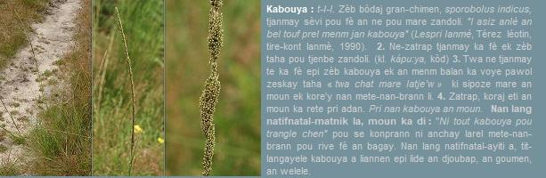 Kabouya  zèb  sporobolus_indicus  ka leve bò gran chimen