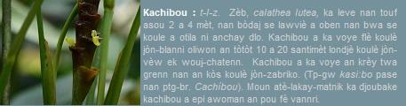 Kachibou  zèb  calathea lutea  ka leve nan touf asou 2 a 4 mèt wotè.