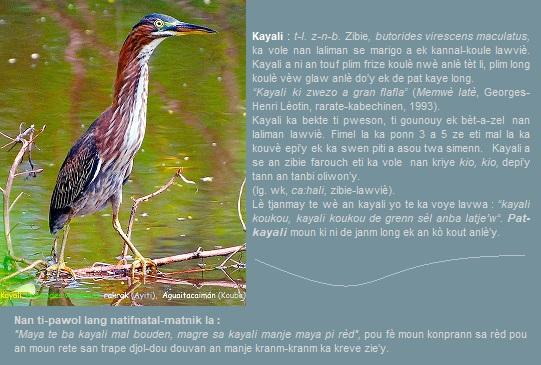 Kayali - Green heron - Rakrak (Ayiti) - Aguaitacaimán (Kouba) - Kyo (Gwadloup)   zibie  butorides virescens maculatus   ka vole nan laliman se marigo a ek kannal-koule lawviè.