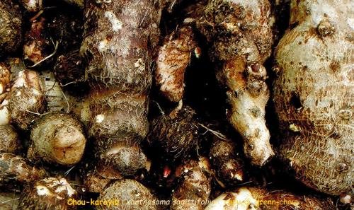 Chou  xanthosoma jacquini