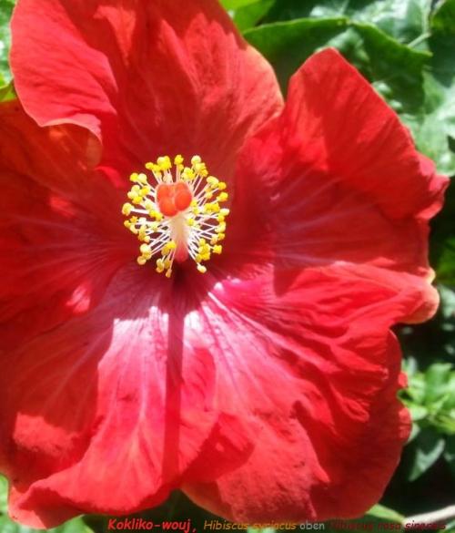 Kokliko-wouj  Hibiscus syriacus oben Hibiscus rosa sinensis