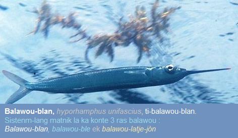 Balawou (hyporhamphus unifasciatus)